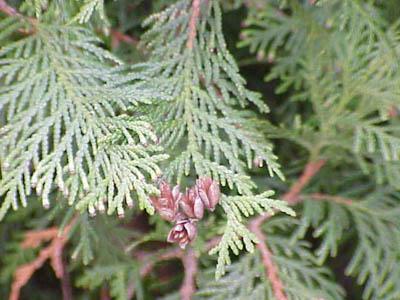 Thuja, Lebensbaum